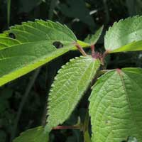 Acalypha used as leafy vegetable from Kenya, photo © Michael Plagens