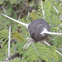 Whistling Thorn, Acacia drepanolobium, photo © Michael Plagens