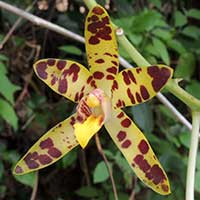 Leopard Orchid, Ansellia africana, photo © Michael Plagens