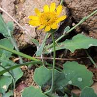 Asteraceae, Lactuceae, photo © Michael Plagens