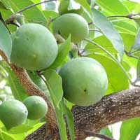 yellow sapote tree in Kerio Valley, photo © Michael Plagens