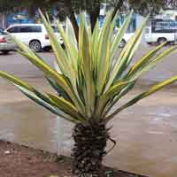 Cultivated Agave in Kenya, photo © Michael Plagens
