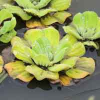 Aquatic Pistia stratiotes in Kenya, photo © Michael Plagens
