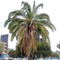 Date Palm, Phoenix dactylifera, photo © Michael Plagens
