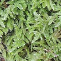 sphagnum sp on a boulder in shady woods, photo © Michael Plagens
