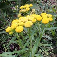 Bright yellow fleabane, Conyza newii, in Kenya, photo © Michael Plagens