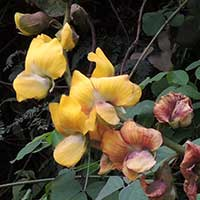 Crotalaria species photo © Michael Plagens