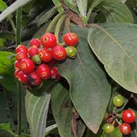 Tricalysia in Kenya, photo © Michael Plagens