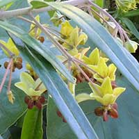 Milkweed, Gomphocarpus fruiticosus, photo © Michael Plagens