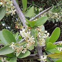 Confetti Tree, Gymnosporia senegalensis, face photo © Michael Plagens