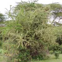habit of Gymnosporia senegalensis photo © Michael Plagens