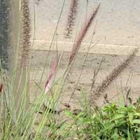 Fountain Grass, Pennisetum sp., in Kenya, photo © Michael Plagens