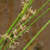 Species of rush, Juncus, in Kenya, photo © Michael Plagens
