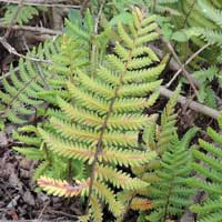 A wood fern, Dryopteris sp, photo © Michael Plagens