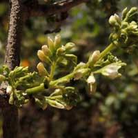 Dalbergia melanoxylon photo © Michael Plagens
