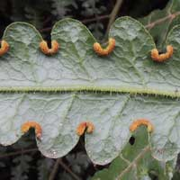 A Brake fern, Pteris sp, photo © Michael Plagens