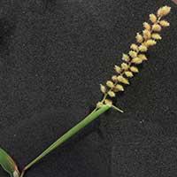 Burr Grass/Carrot-seed Grass, Tragus sp., photo © Michael Plagens