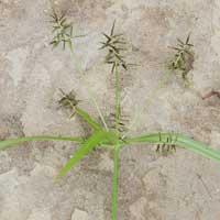 A roadside sedge in Wundanyi, Cyperaceae, photo © Michael Plagens