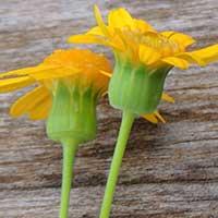 Asteraceae, photo © Michael Plagens