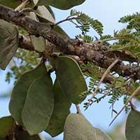 Gum Acacia, Acacia senegal, photo © Michael Plagens