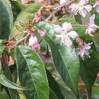 Prunus cerasoides photo © Michael Plagens