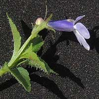 A Lobelia, Campanulaceae, photo © Michael Plagens