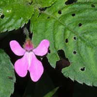 Possible Impatiens hoehnelii © Michael Plagens