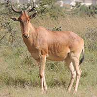 Coke's Hartebeest photo © Michael Plagens