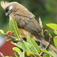 Feeds on the berries.  Speckled Mousebird