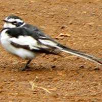 African Pied Wagtail, © Michael Plagens