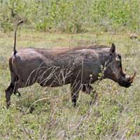 Warthog, Phacochoerus africanus, photo © Michael Plagens