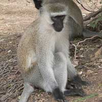 Vervet Monkey photo © M Plagens