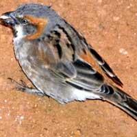Rufous Sparrow, © Michael Plagens