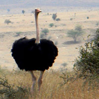 A regal male Common Ostrich, © Michael Plagens
