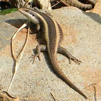 Unknown genus and species of skink lizard photo © Michael Plagens