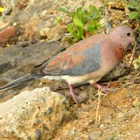 Laughing Dove, photo © Michael Plagens