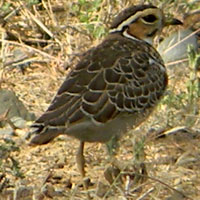 Three-banded (Heuglin's) Courser, photo © Michael Plagens