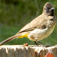 Common Bulbul eats the berries and thereby distributes the seeds