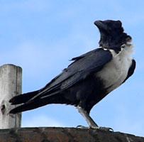 Pied Crow, Corvus albus, © Michael Plagens