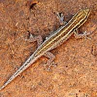 Scheffler's Dwarf Gecko photo © Michael Plagens