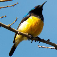 Click for more info about the Variable Sunbird