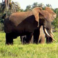 African Elephant photo © Wouter van Vliet