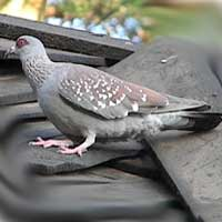 Speckled Pigeon, Columba guinea, photo © Michael Plagens
