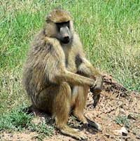 Olive Baboon photo © Mike Plagens