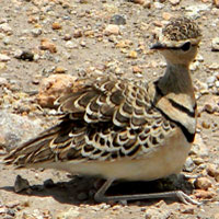 Two-banded Courser, photo © Michael Plagens
