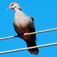 African Mourning Dove photo © Michael Plagens