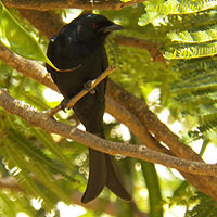 Fork-tailed or Common Drongo, Dicrurus adsimilis, © Michael Plagens