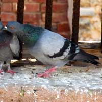 Rock Dove, photo © Michael Plagens