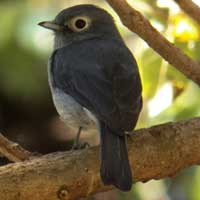 White-eyed Slaty Flycatcher, © Michael Plagens