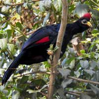 Ross's Turaco, photo © Michael Plagens